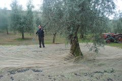 Harvesting olives with a rastrello