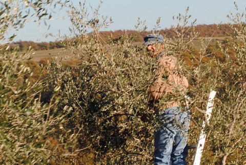 Picking Olives in Orvieto
