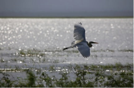 An Egret takes flight on Lake Urema.