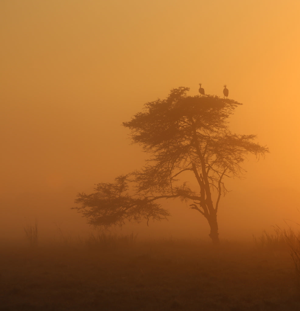 Crowned Cranes at Sunrise on the Floodplain