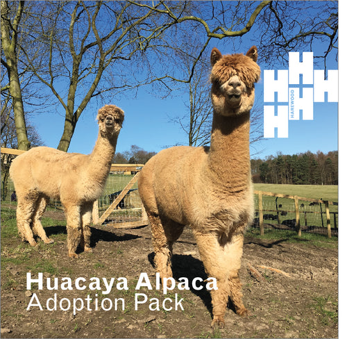 Adopt a Harewood Alpaca Plus (includes Alpaca Trek or Animal Keeper Experience)