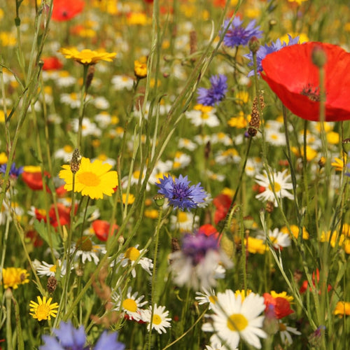 10g Harewood Walled Garden Wildflower Seed Mix (up to 5 sqm coverage)