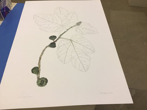 Fig/ficus by Kate McGuire - Limited Edition Print