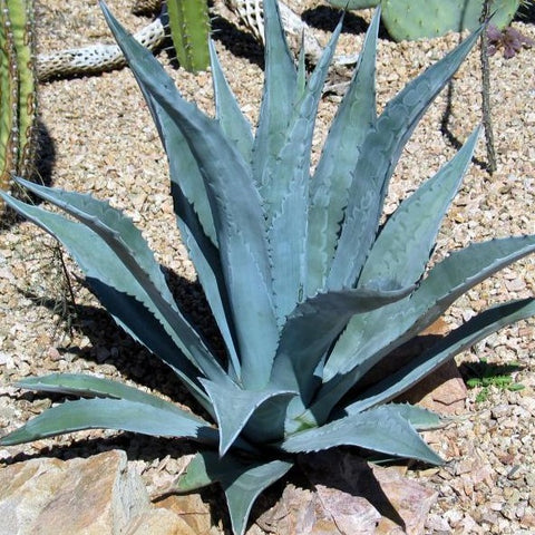Blue Agave 'Century Plant'
