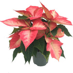 6.5 inch Christmas Beauty Princess Poinsettia