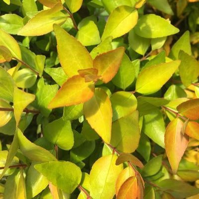 Abelia 'Twist of Lemon'