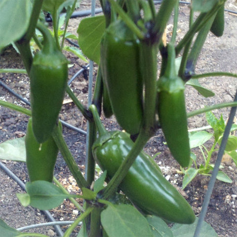 'Tricked You' Jalepeno Sweet Pepper
