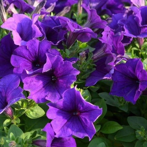 Petunia Easy Wave® Series