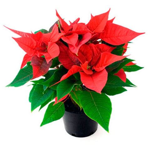 4.5 inch Poinsettia Red