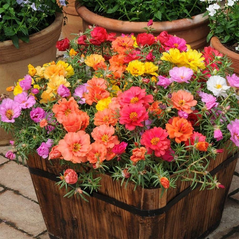 Portulaca (Rose Moss) Happy Hour Series