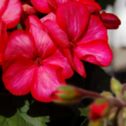 Sarita Sunstar Red Geranium