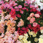 Lewisia 'Elise Mixed'