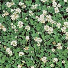 VF&S_ White Dutch Clover