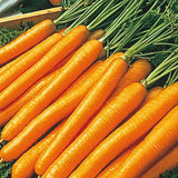 PBN Carrot 'TenderSweet'