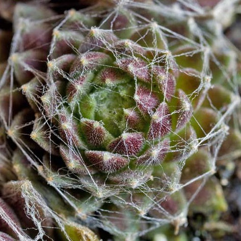 Sempervivum 'Forest Frost' (Hens & Chicks)