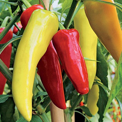 'Sweet Banana' Mild Pepper