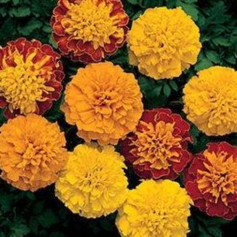 Marigold French Mix (Pre-Order)