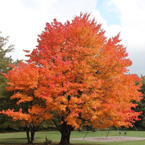 Acer saccharum 'Sugar Maple' Tree