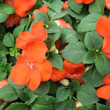 Impatiens Super Elfin® Bright Orange