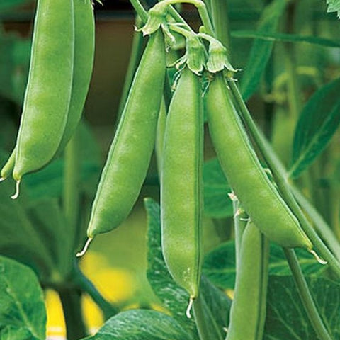 PBN Pea 'Sugar Snap Edible Pod'