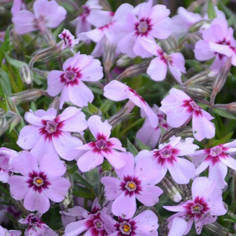 Phlox subulata 'Eye Candy' (Creeping Phlox)