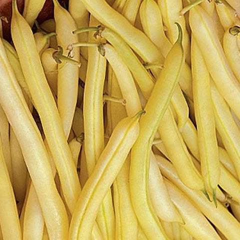 PBN Bean Bush 'Golden Wax'