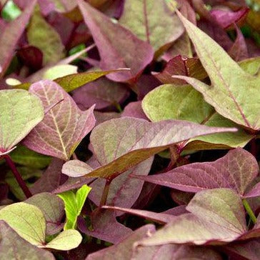 Ipomoea Sweet Potato Vine Bright Ideas 'Rusty Red'