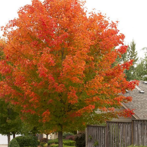 Acer Red Maple 'October Glory®'
