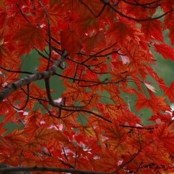 Acer 'Autumn Flame' Maple Tree