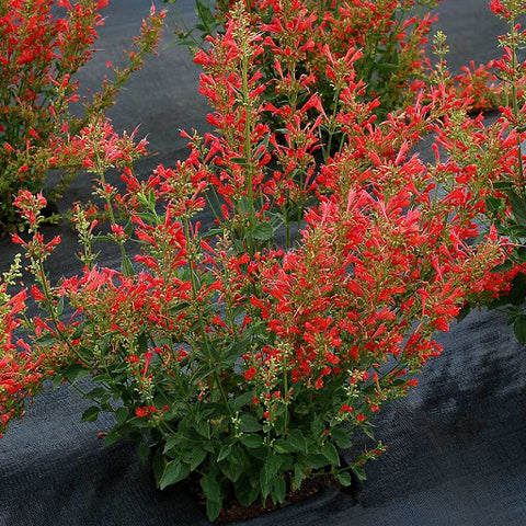 Agastache Anise 'Kudos Red' Hummingbird Mint