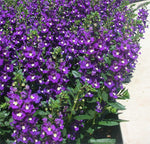 Angelonia Alonia™  'Big Blue' ( angustifolia)