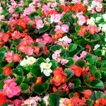 Begonia Super Olympia Green-leaved Series