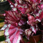 Begonia 'Rex Collection'