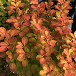 Berberis Sunjoy Gold Pillar® Barberry PP18082