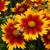 Coreopsis UpTick™ 'Gold & Bronze' Tickseed
