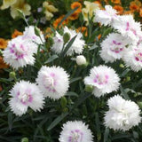 Dianthus 'Everlast™ White + Eye'