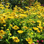 Gallardia Mesa™ 'Yellow'  (Blanket Flower)