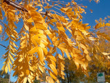 Gleditsia Shademaster® Honeylocust