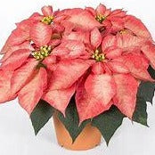 4.5 inch Poinsettia Ice Crystal