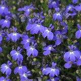 Lobelia erinus Techno® Heat Series