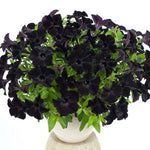 Petunia 'Black Magic™'
