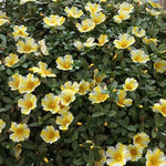 Purslane ColorBlast™ 'Lemon Twist'