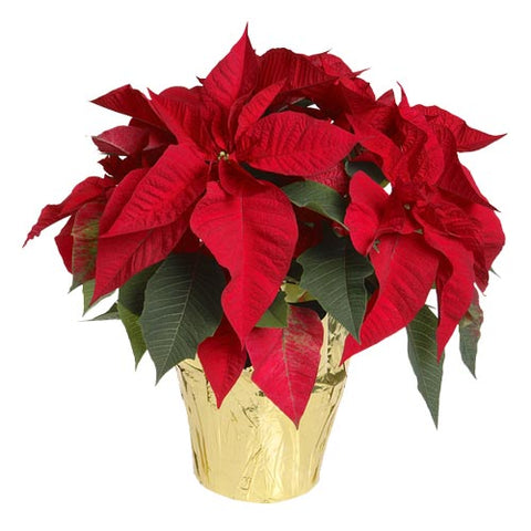 6.5 inch Seasonal Red Poinsettia