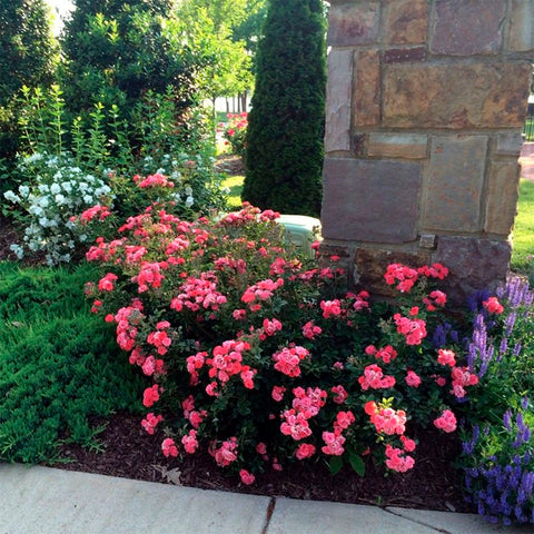 Rosa Drift® Coral Ground-cover Rose