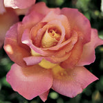 Rosa Hybrid Tea Chicago Peace Rose
