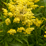 Solidago 'Little Lemon' (Goldenrod)