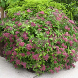 Spiraea Double Play® Red Spirea