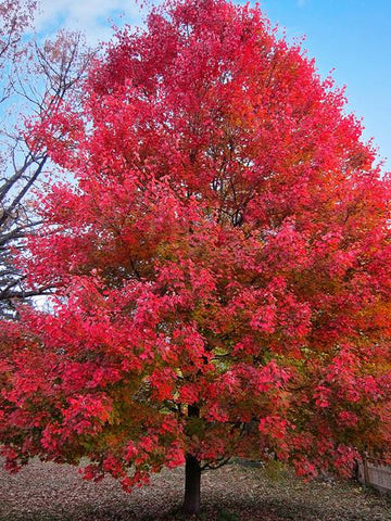 Acer 'Sun Valley' Maple Tree