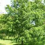 Taxodium Distichum 'Bald Cypress' Tree
