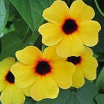 Thunbergia Arizona™ Series Climbing